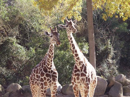 RZoo-giraffe3